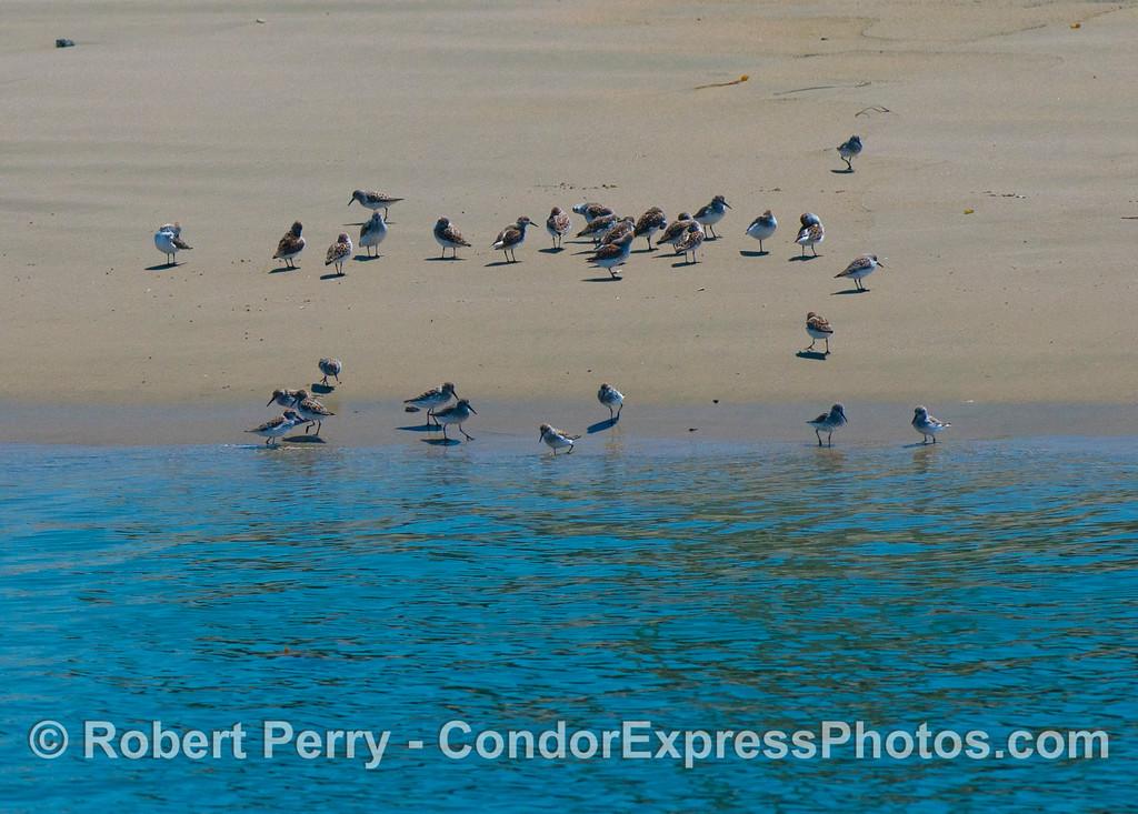 A flock of sanderlings (<em>Calidris alba</em>) relax on the beach.