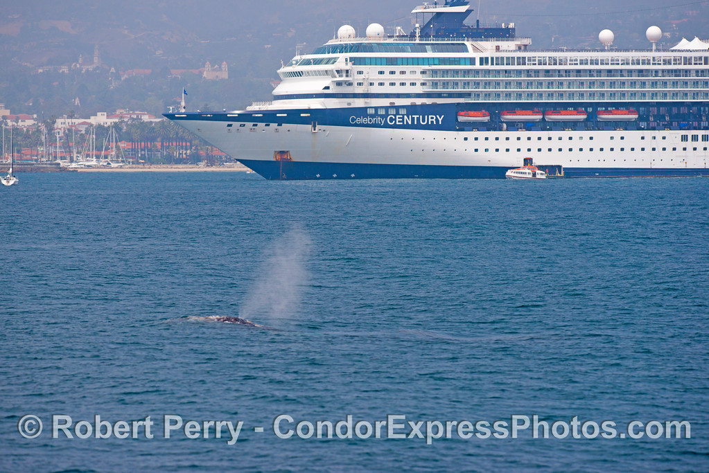 (3 of 3) Gray whales (Eschrichtius robustus) near a big cruise ship.
