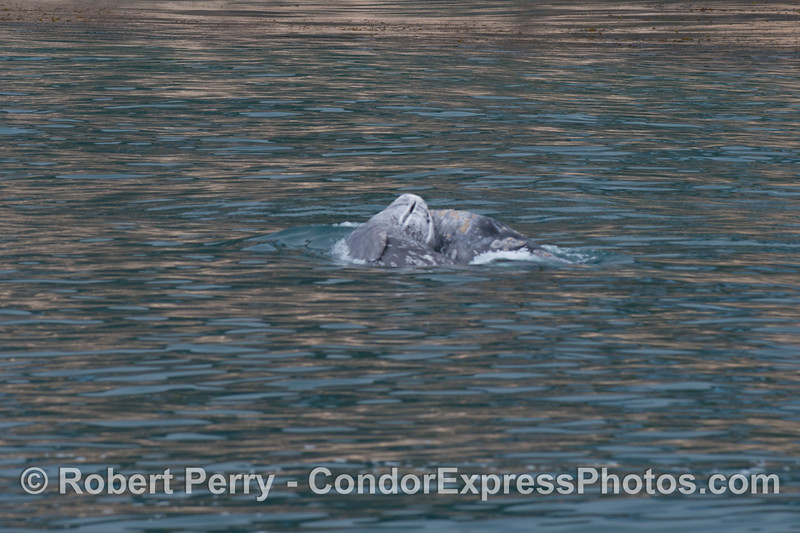 A gray whale calf (<em>Eschrichtius robustus</em>) tries to climb on top of mother.