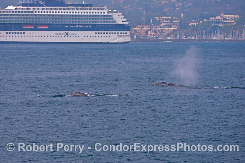 (2 of 3) Gray whales (<em>Eschrichtius robustus</em>) near a big cruise ship.