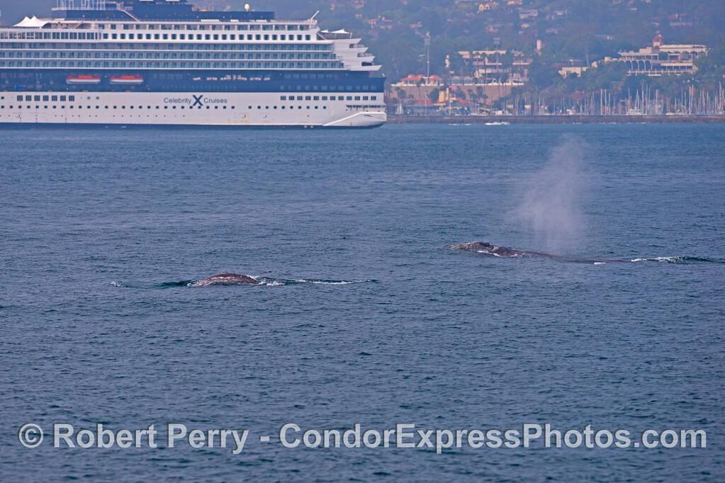 (2 of 3) Gray whales (<em>Eschrichtius robustus</em>) near a big cruise ship.