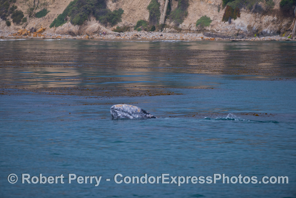Mother gray whale (<em>Eschrichtius robustus</em>) takes a look around.