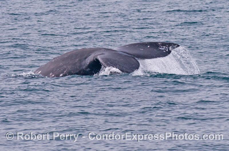 A gray whale (<em>Eschrichtius robustus</em>) flukes up.
