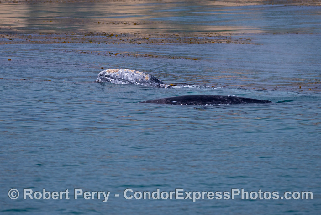 Mother gray whale (<em>Eschrichtius robustus</em>), with her head out of the water, and her calf in the foreground.