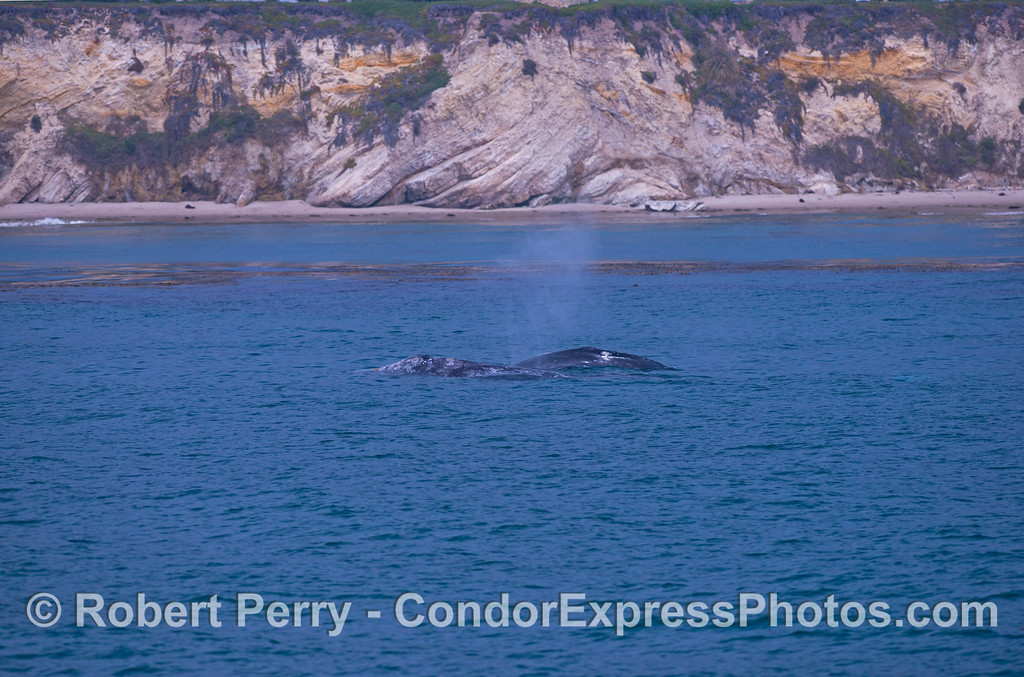 Mother and her calf, gray whales (Eschrichtius robustus).