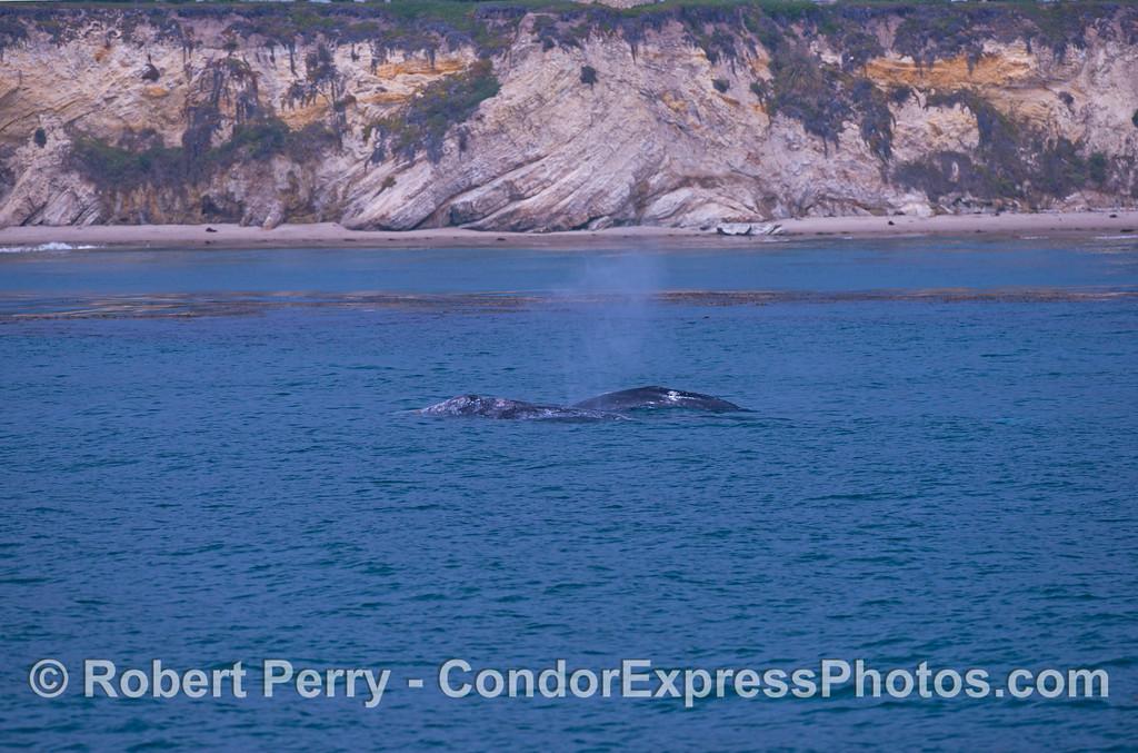 Mother and her calf, gray whales (<em>Eschrichtius robustus</em>).