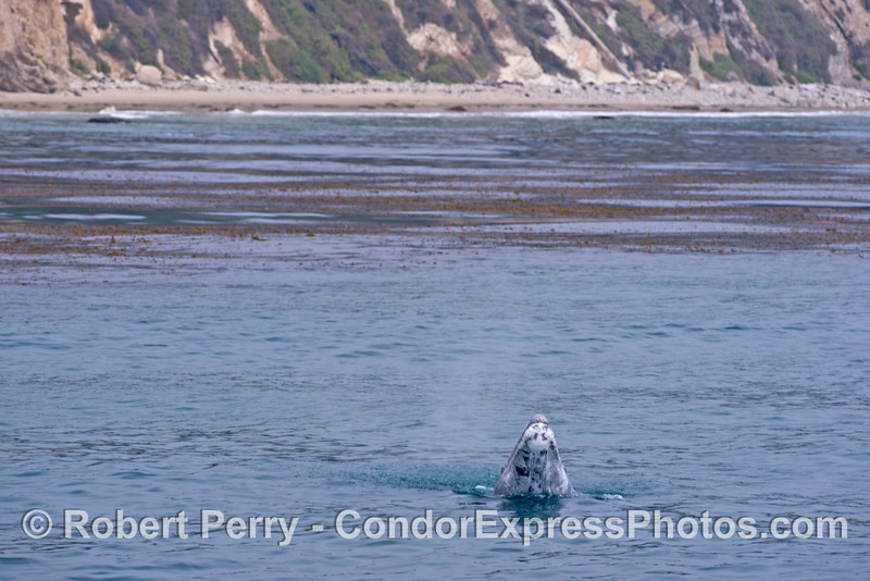 Wide angle view: A gray whale calf (<em>Eschrichtius robustus</em>) does a small spy-hop.
