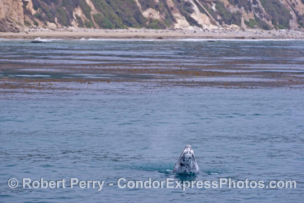 Wide angle view: A gray whale calf (<em>Eschrichtius robustus</em>) does a small spy-hop.