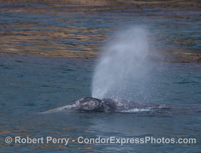 Close look at a gray whale (<em>Eschrichtius robustus</em>).