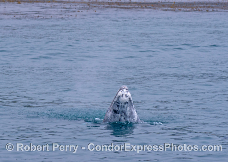 Close up view: A gray whale calf (<em>Eschrichtius robustus</em>) does a small spy-hop.