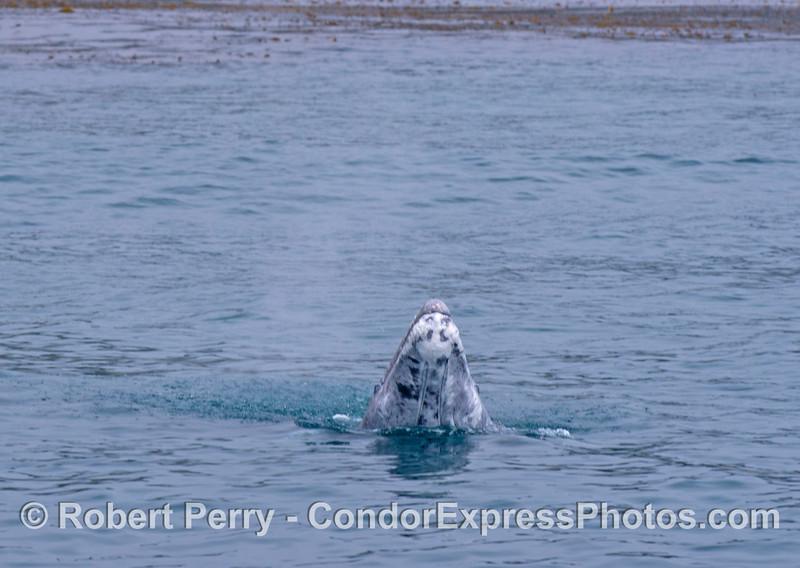 Close up view: A gray whale calf (<em>Eschrichtius robustus</em>) does a small spy-hop.