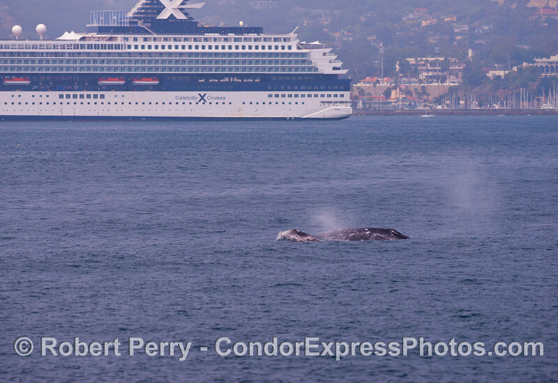(1 of 3) Gray whales (<em>Eschrichtius robustus</em>) near a big cruise ship.