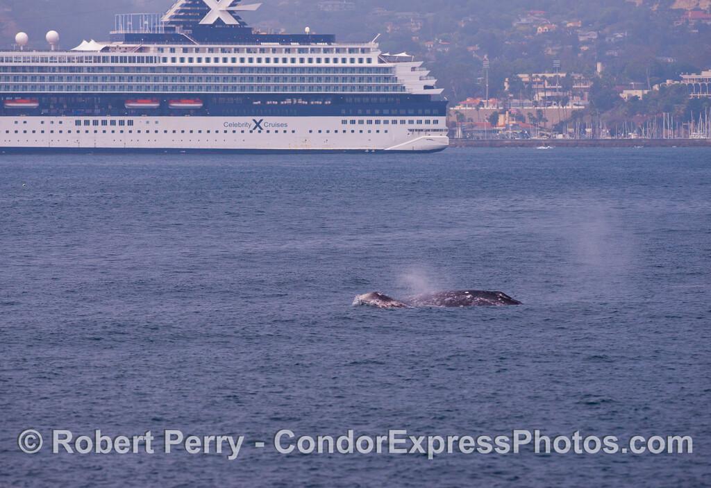 (1 of 3) Gray whales (<em>Eschrichtius robustus</em>) near a big cruise ship.