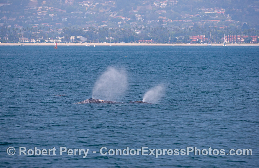 Mother and calf, gray whales (<em>Eschrichtius robustus</em>).