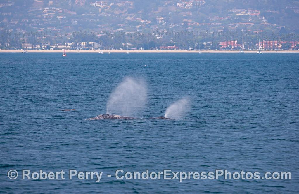 Mother and calf, gray whales (<em>Eschrichtius robustus</em>).