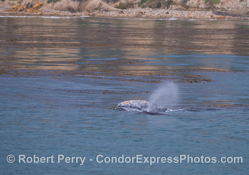 A gray whale (<em>Eschrichtius robustus</em>) mother lifts her head out as her calf, alongside, spouts.
