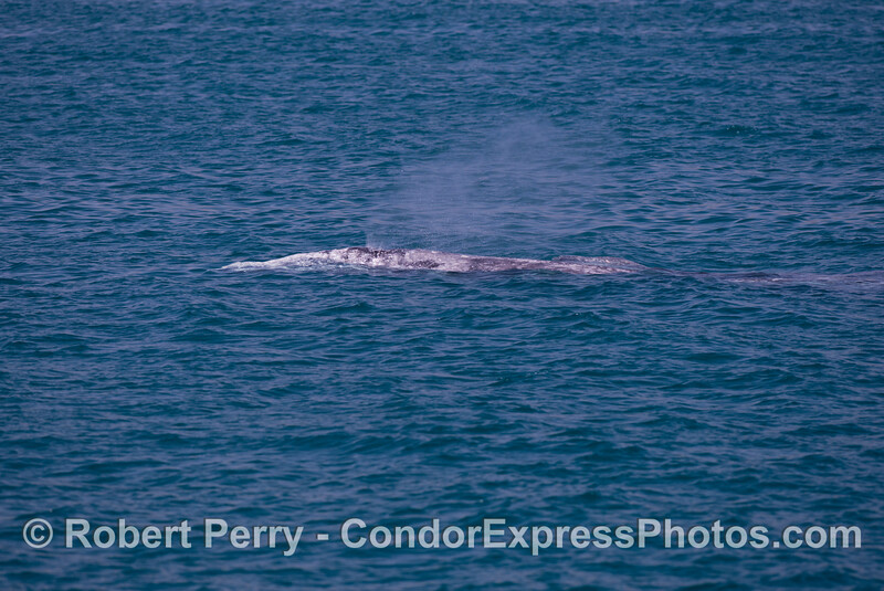 A gray whale (<em>Eschrichtius robustus</em>) and her calf.