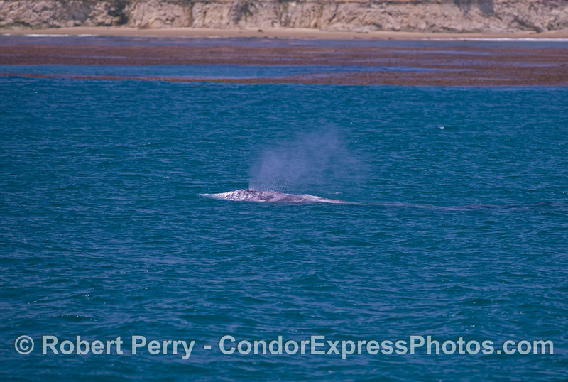 A gray whale (<em>Eschrichtius robustus</em>) swims along the edge of the kelp beds.