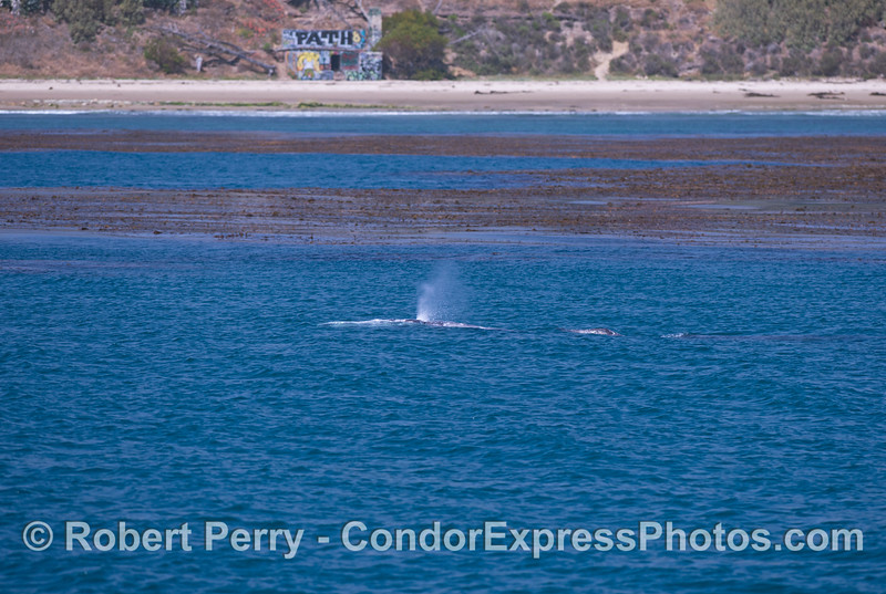 A gray whale (<em>Eschrichtius robustus</em>) mother and her calf (to the right of mom) swim along the edge of the kelp beds.