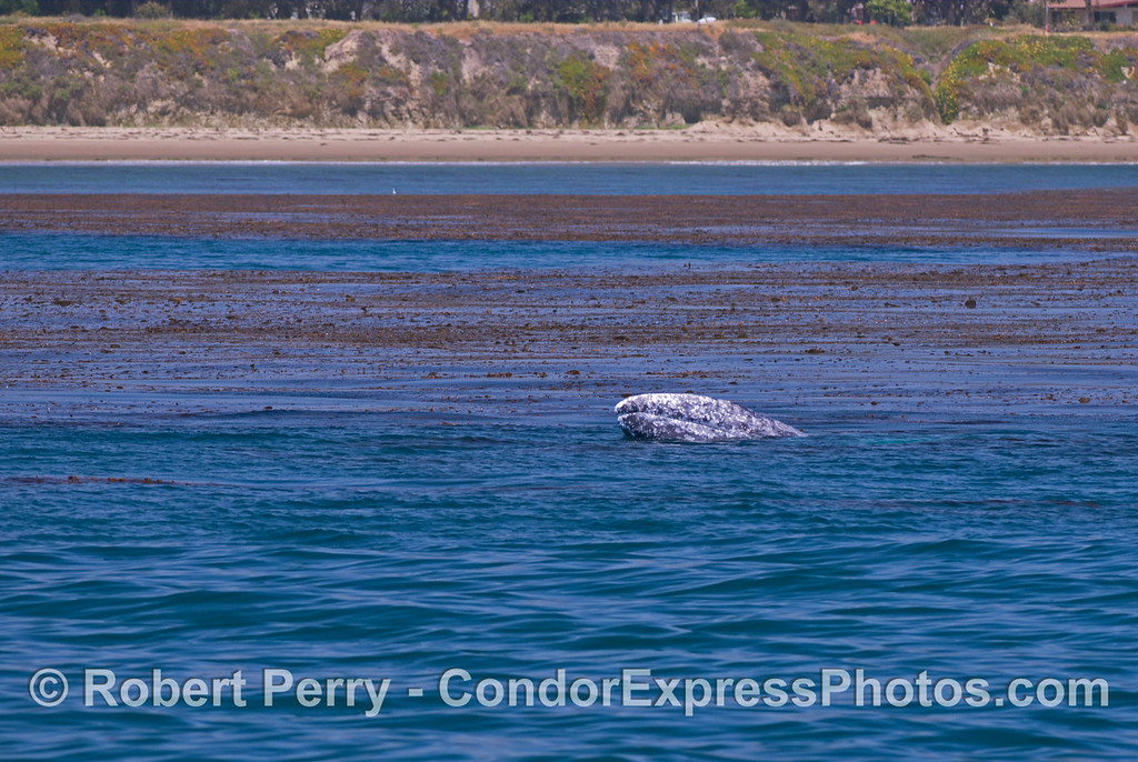 A mother gray whale (<em>Eschrichtius robustus</em>) lifts her head out of the water in a semi-spy hop.  The luxurious kelp forest can be seen nearby.