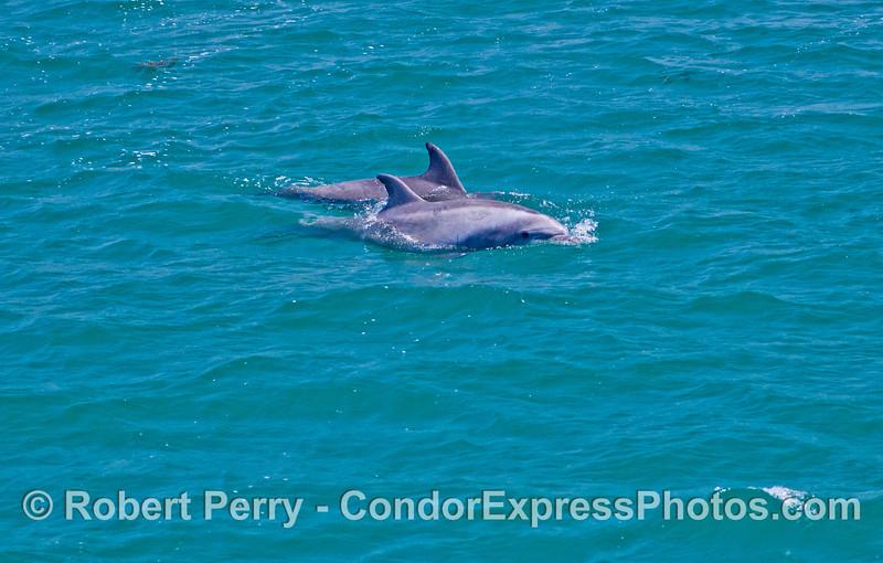 Two friendly bottlenose dolphins (<em>Tursiops truncatus</em>).