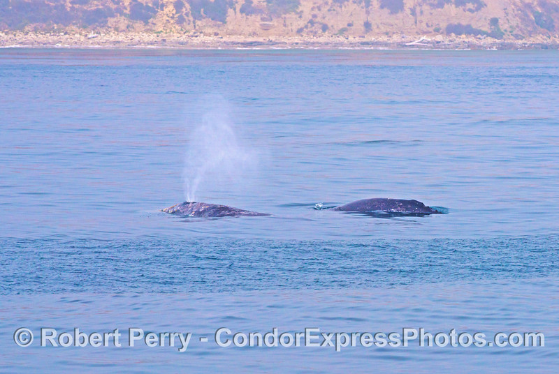 Northbound migrating gray whales (<em>Eschrichtius robustus</em>): mother and her calf.