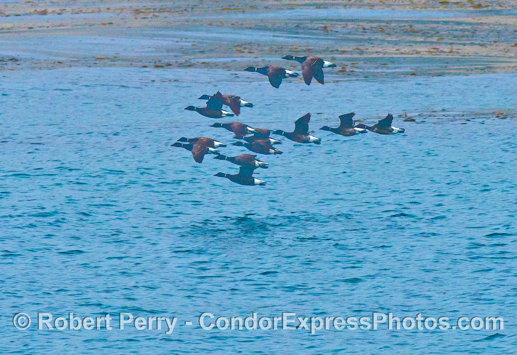 A flock of brandts (<em>Branta bernicla</em>) flying low along the outer edge of the kelp forest.