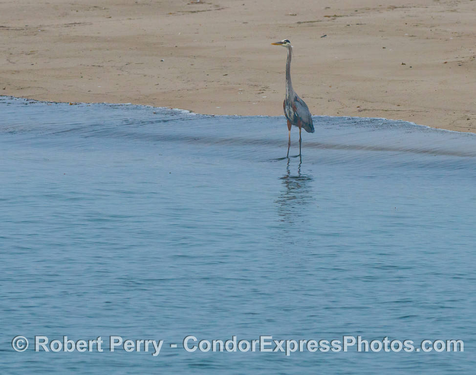 A great blue heron (<em>Ardea herodias</em>) keeps watch along the edge.