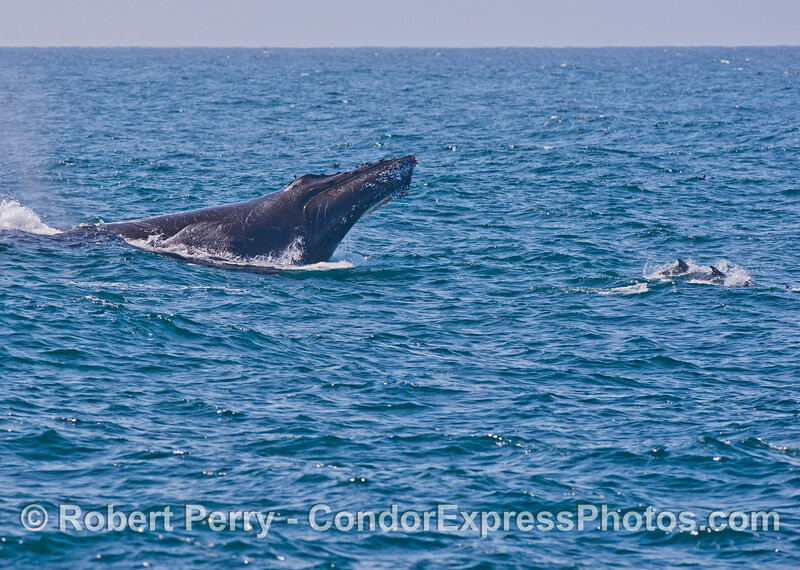 "Humpback whale semi-breach. Image 4 of 6.<br /> More common dolphins ride the ""bow."""