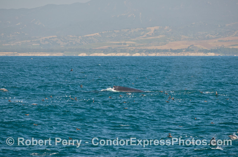 A humpback whale sends a flock of <br /> sooty shearwaters flying.  Common<br /> dolphins can also be seen.