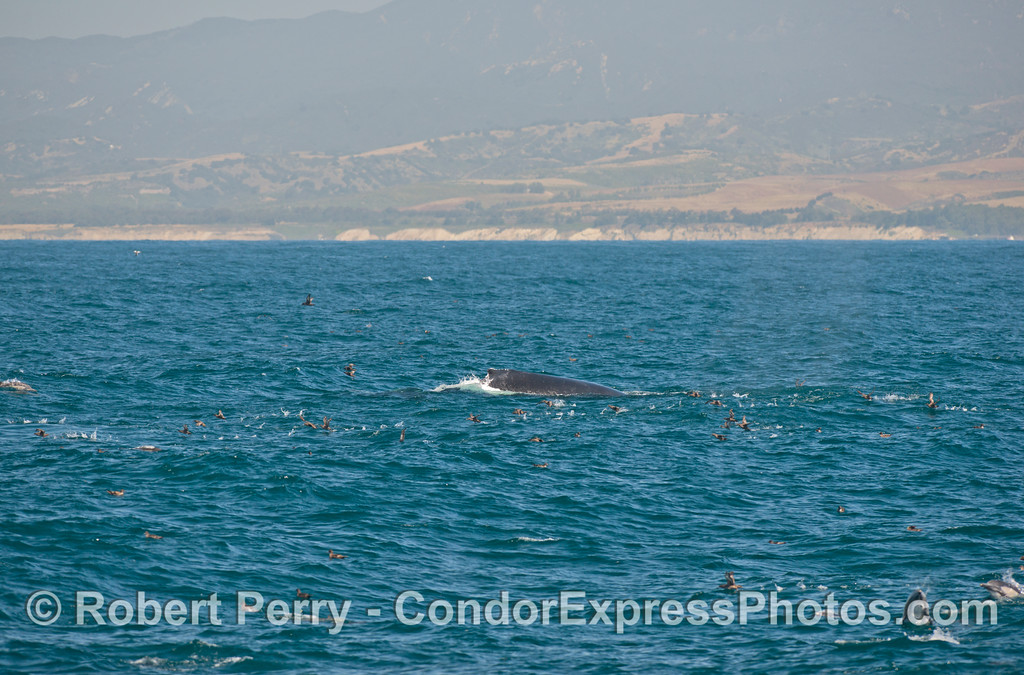 A humpback whale sends a flock of  sooty shearwaters flying.  Common dolphins can also be seen.