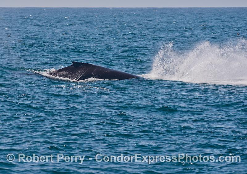 Humpback whale semi-breach. Image 6 of 6.<br /> Splashdown.