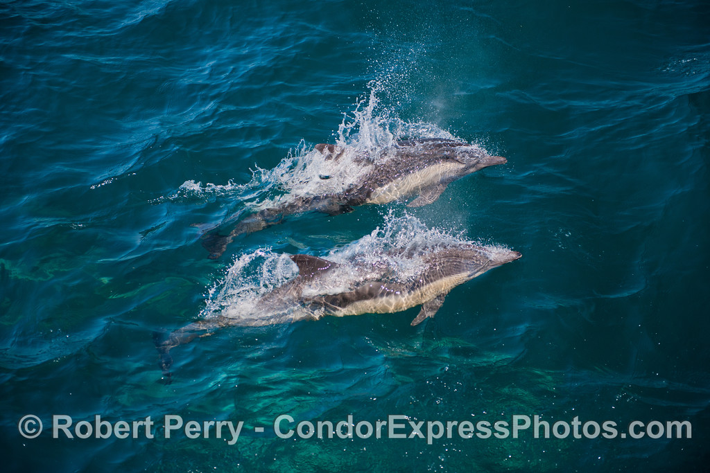 Two common dolphins<br /> speeding through the water.