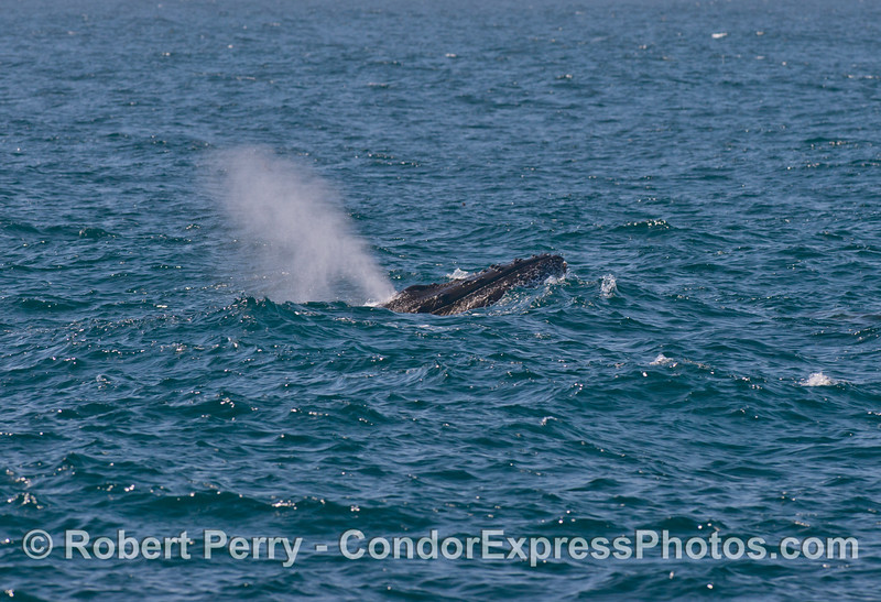 Humpback whale semi-breach. Image 1 of 6.
