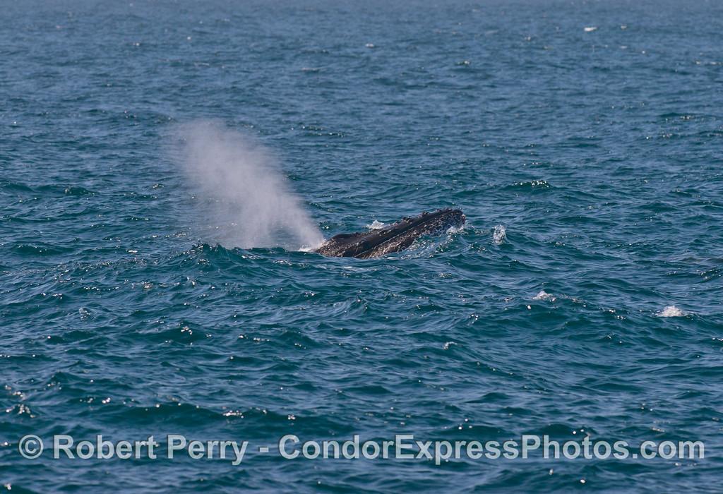Humpback whale semi-breach. Image 1 of 6.