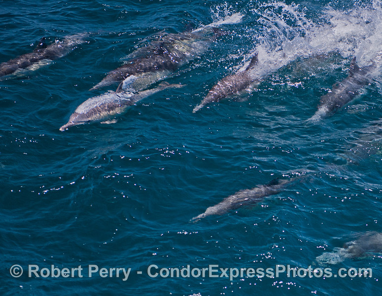 Common dolphins<br /> ride a wave.