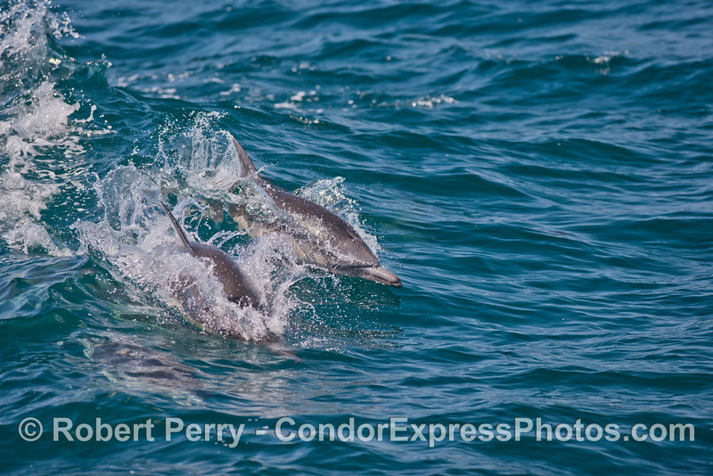 Two common dolphins<br /> surfing a small wave.