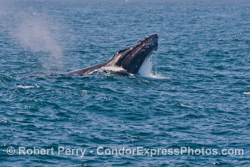 Humpback whale semi-breach. Image 3 of 6.