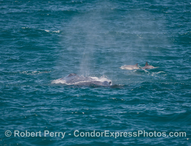 Humpback and<br /> common dolphins.