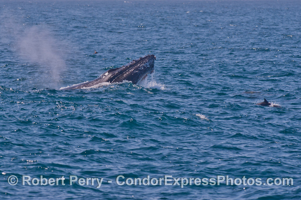 Humpback whale semi-breach. Image 2 of 6. <br /> Common dolphins ride along for fun.