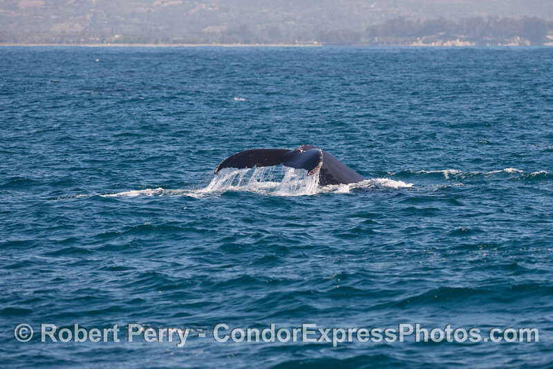 Humpback whale<br /> tail flukes.