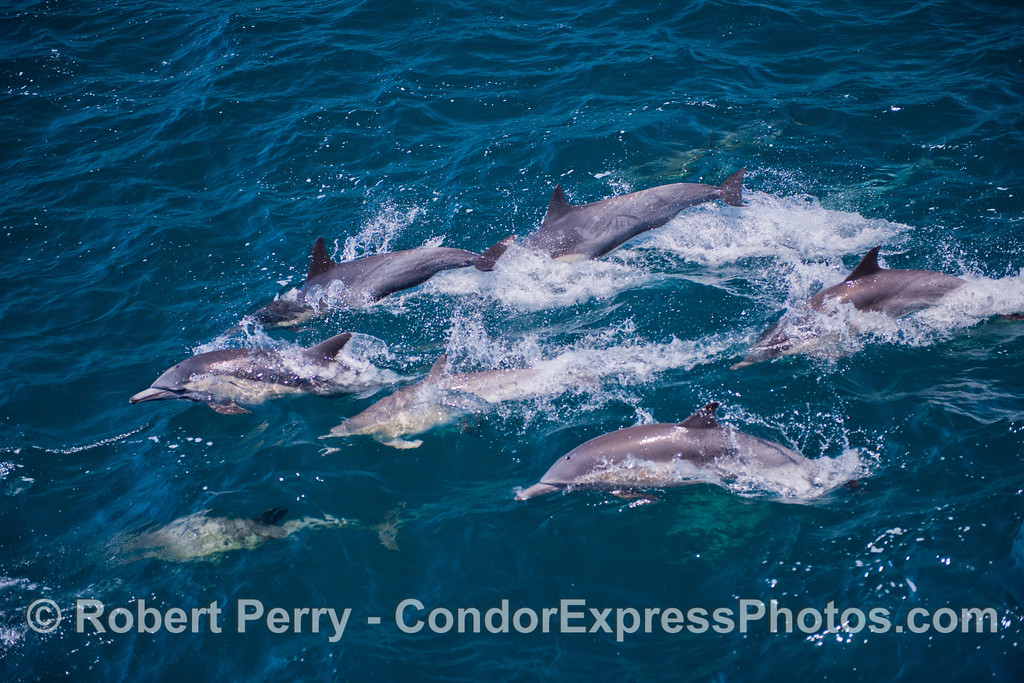 A pod of<br /> common dolphins.