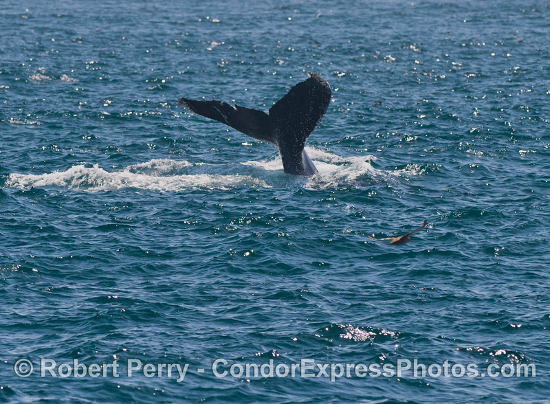 Humpback whale<br /> tail flukes.