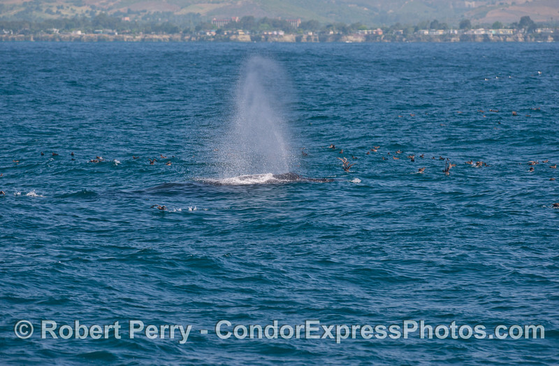 A humpback whale spouts with<br /> sooty shearwaters all around.