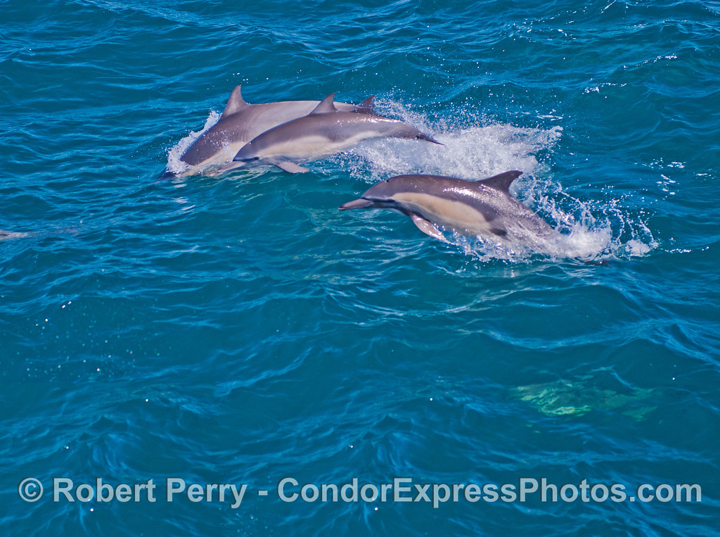 Three common dolphins in various stages of leaping.