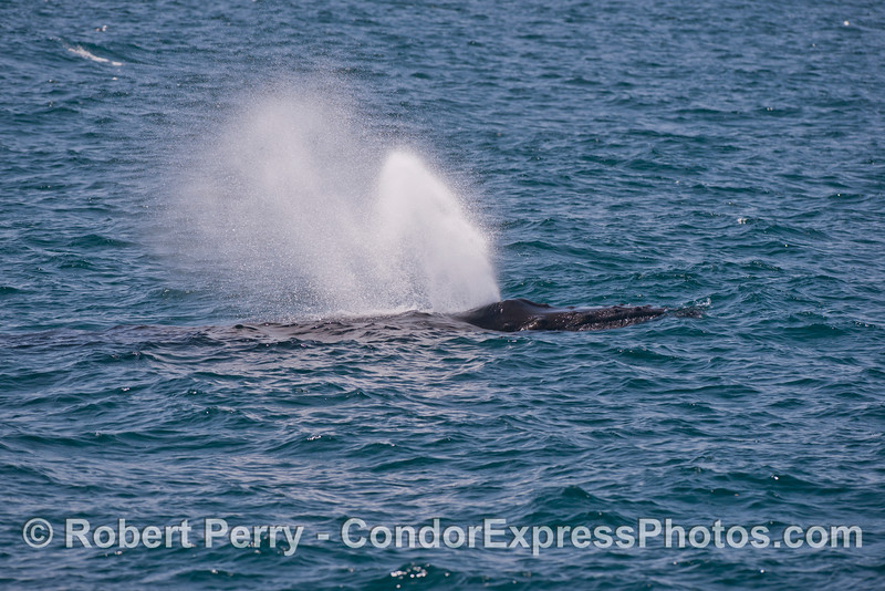 Like a fire hose - <br /> a humpback spouts.