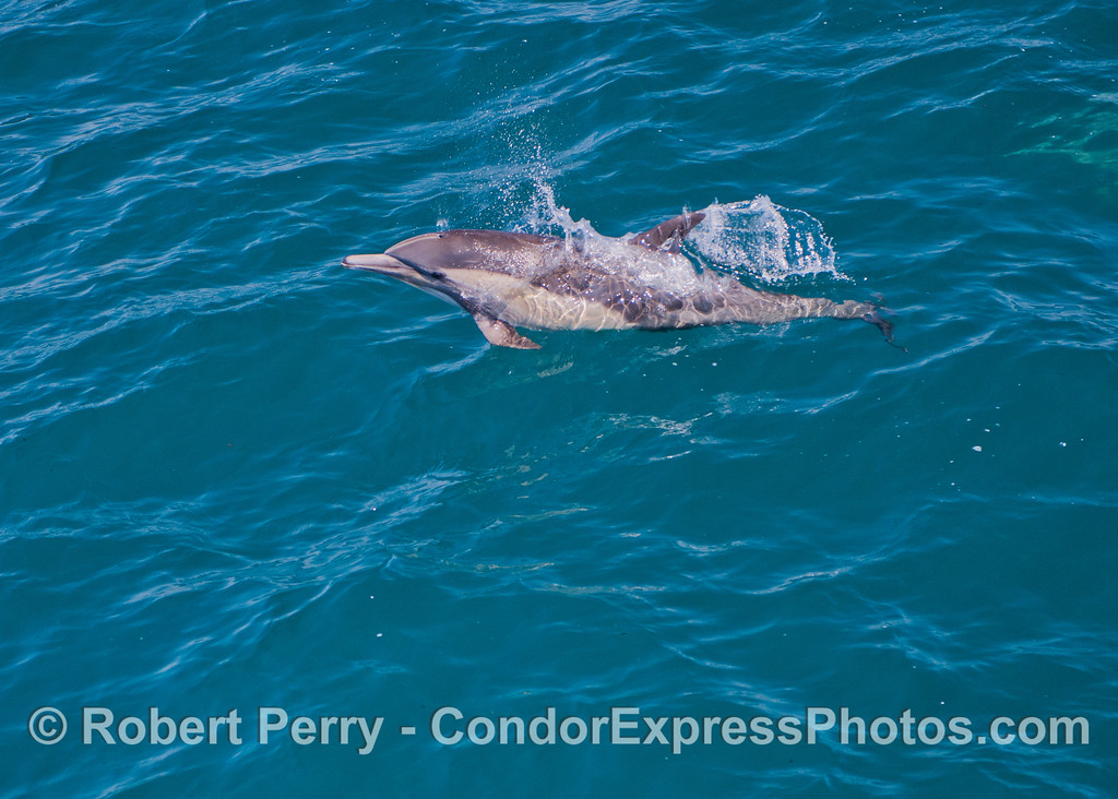 Up for a breath.<br /> A common dolphin.