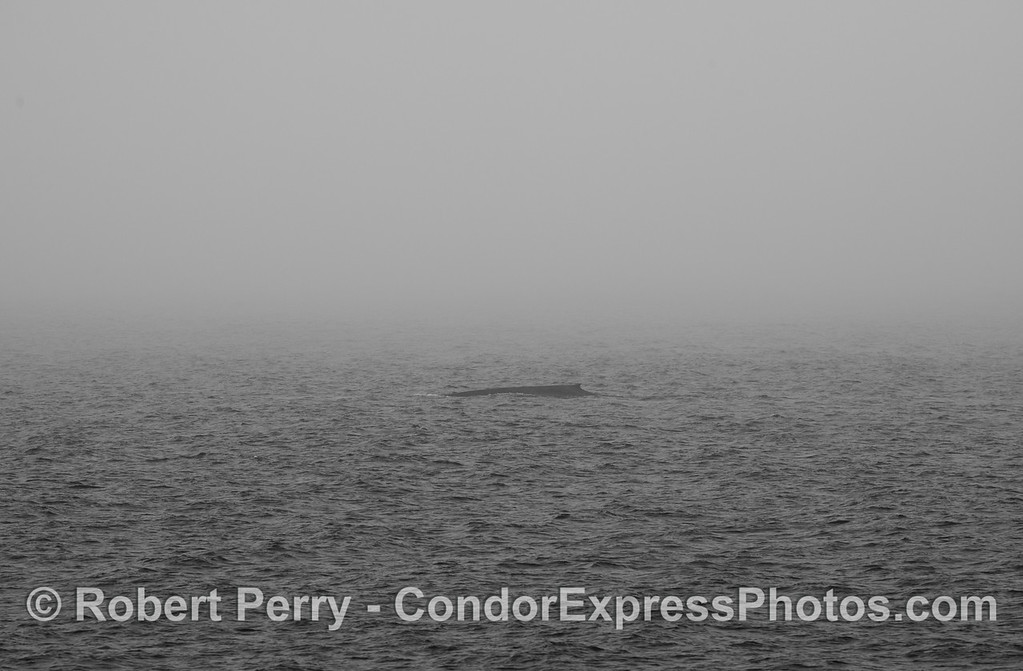 A black and white silhouette of a giant blue whale (<em>Balaenoptera musculus</em>) in dense fog.  Earlier we were in fog and could smell a humpback whale