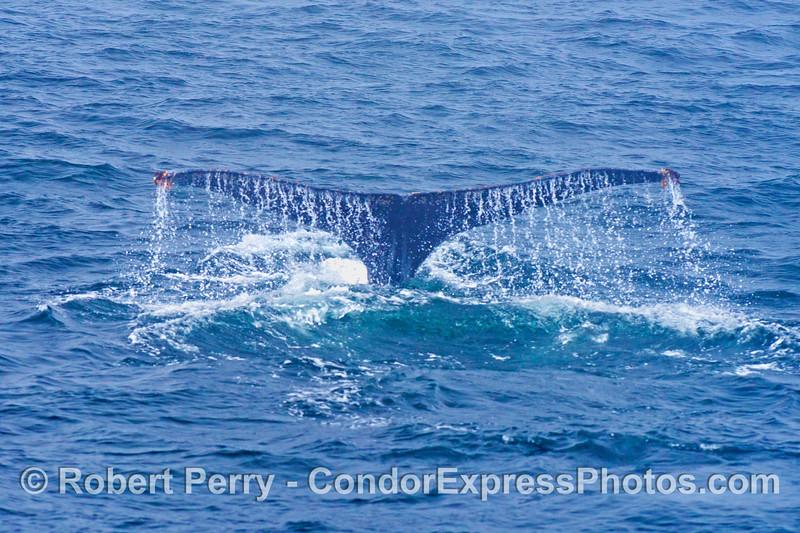 Humpback whale (<em>Megaptera novaeangliae</em> tail flukes - image 1 of 2.
