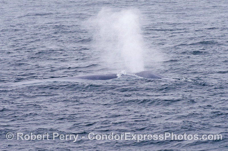A mighty blast from a spouting adult giant blue whale (<em>Balaenoptera musculus</em>).